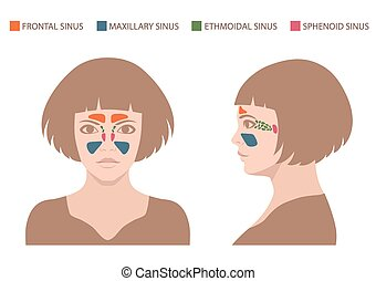 sinus anatomy, human respiratory sy