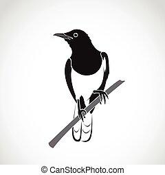 Vector of bird on white background. Oriental Magpie Robin (Copsychus saularis)