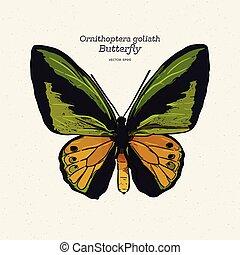 vector., ornithoptera, goliath, mariposa, bosquejo, mano, empate
