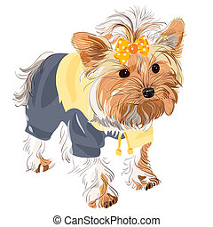 Yorkshire terrier red color with a yellow bow in a yellow jacket and black pants