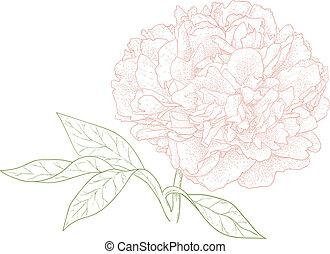Vector peony flower in vintage engraving style.