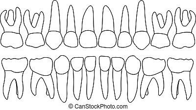 vector, primair, teeth, voorkant