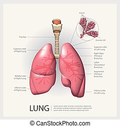 vector, pulmón, detalle, ilustración