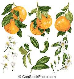 vector, ramas, conjunto, hojas, toronja, fruits, flores, brotes