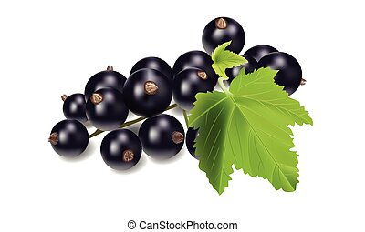 Vector realistic black currant with leaves.