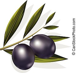 Vector realistic illustration of black and olives branch isolated on white background. Design for olive oil, natural cosmetics, health care products.