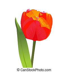 vector red tulip