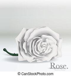 Vector, roos, witte, bloem, achtergrond