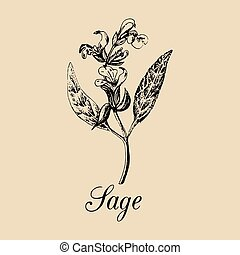 Vector Sage illustration. Hand drawn Salvia branch sketch. ...