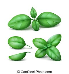 Vector Set of Green Fresh Basil Leaves Close up Isolated on White Background