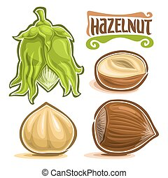 Vector set of Hazelnut Nuts: immature filbert or hazel in green shell and leaves, lettering title - hazelnut, cobnut or hazelnut nuts in brown nutshell and peeled fruit isolated on white background.