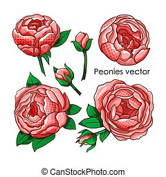 Vector set of peonies on an isolated background.