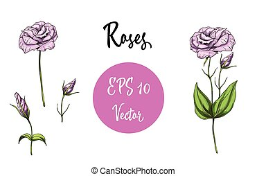 Vector set of pink roses. Isolated vector illustration on white background