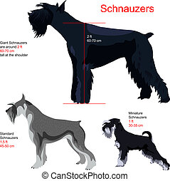 schnauzer breed: Giant Schnauzer; Standart Schnauzer; Miniature Schnauzer, isolated on white background