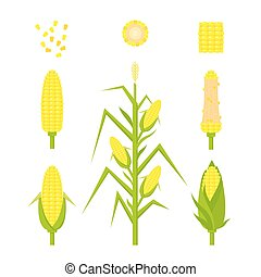 Vector set yellow corn in flat style isolated on white background. Ripe vegetable, corncobs, farming design elements