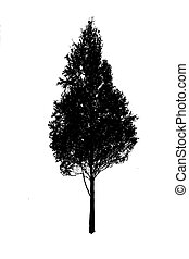 vector silhouette birch on white background