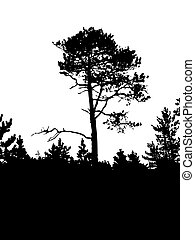 vector silhouette of the old pine on white background