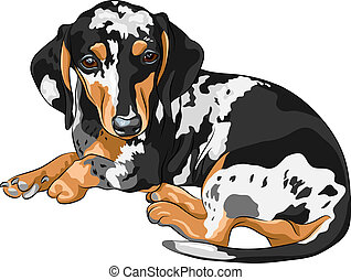Black and tan double dapple smooth-haired miniature dog Dachshund breed (German badger-dog; hot dog, wiener dog or sausage dog) lying