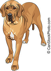 vector sketch domestic dog fawn Great Dane breed - sketch of...