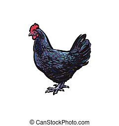 vector sketch hand drawn chicken isolated
