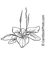 vector sketch of medicinal plant plantain - black and white...