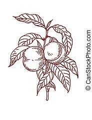 Vector Sketch of peach