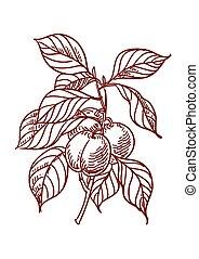 Vector Sketch of plums