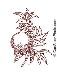 Vector Sketch of pomegranate