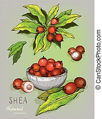 Shea nuts plant, berry, fruit - Vector sketch of Shea nuts ...