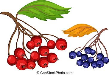 Vector sketcn rowanberry and blue berry - Sketch rowanberry...