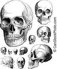 Vector Skulls - Set of vector skulls.