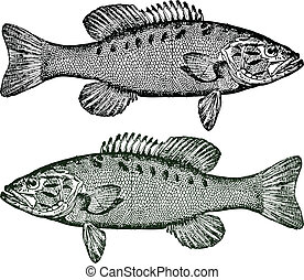 Illustration of Smallmouth Bass. Detailed and easy to change colors.