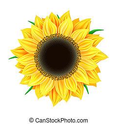 Vector sunflower isolated