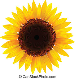 sunflower - Vector sunflower, realistic illustration.