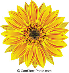vector sunflower - vector illustration of sunflower