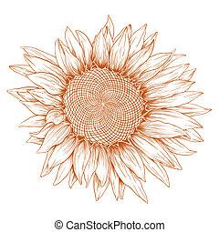 Vector sunflower. - Vector sunflower in vintage engraving ...
