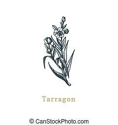 Vector Tarragon sketch. Drawn spice herb in engraving style...