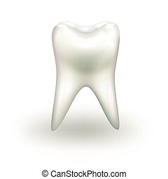 vector tooth isolated on white background. realistic