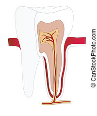 Vector tooth of the person in a cut