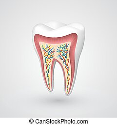 Vector tooth sectional. Vector illustration art 10eps