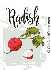 Vector vegetable element of radish. Hand drawn icon with lettering. Food illustration for cafe, market, menu design
