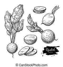 vector, vegetal, objeto, pieces., aislado, estilo, cortar, mano, rábano, dibujado, set., grabado, ilustración