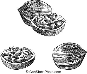 Vector Walnut Sketch, Hand Drawn Illustration, Black Drawings Set Isolated.