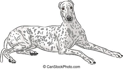 breed dog Whippet lying isolated on a white background