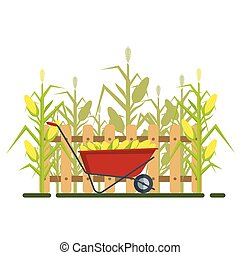 Vector yellow corn in red wheelbarrow with fence and cornfield, flat style concept isolated on white background. Ripe vegetable, corncobs, farming design elements. Farm landscape
