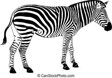 Vector Zebra - Illustration of  zebra. Vector EPS 8