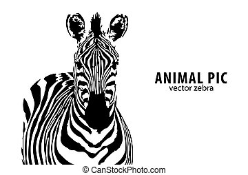 vector Zebra - vector zebra with place for text