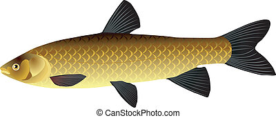 Chinese carp
