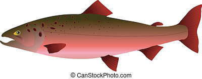 vectors salmon on a white background