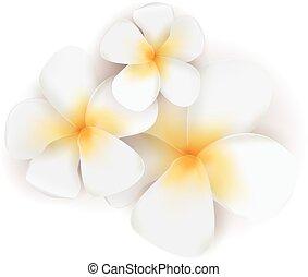 Vectro frangipani flowers - Three vector plumeria flowers